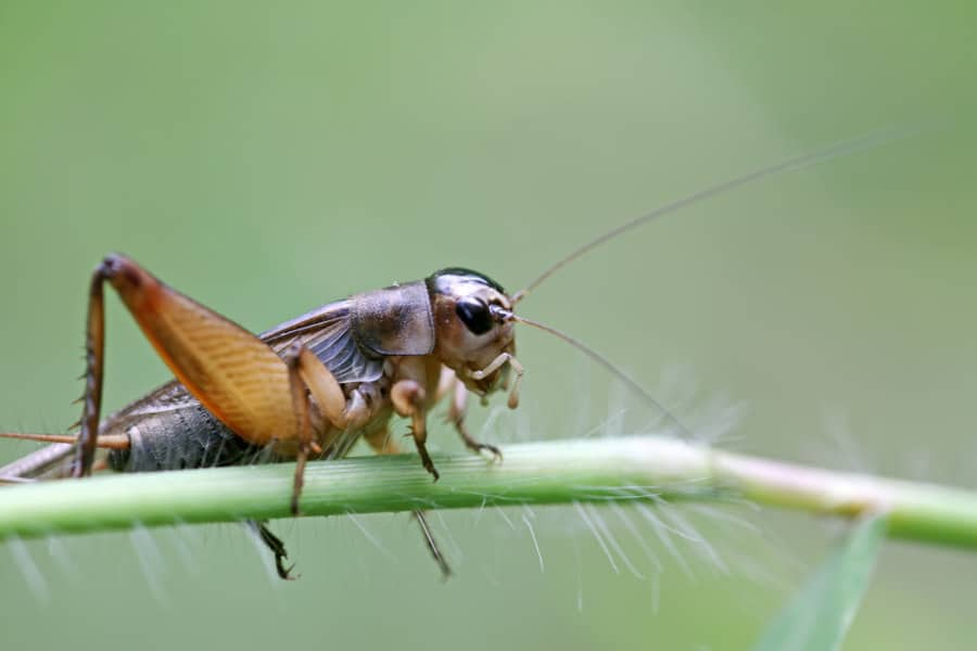 How to get rid of cricket noise at night. Keep crickets quiet.
